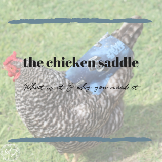 chicken saddle or apron